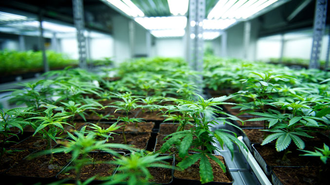 Реколта на компании за марихуана